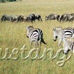 Національний заповідник Масаї Мара - найпопулярніший заповідник Кенії