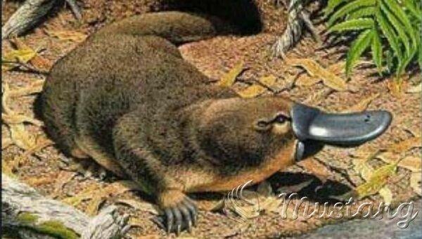 Качкодзьоб. Хто він, живий курйоз Австралії? Цікаві факти