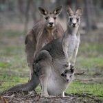 Австралія – країна унікальних тварин [draft]
