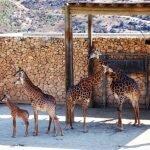 Сімейний відпочинок в Израиле: Біблейський зоопарк [draft]